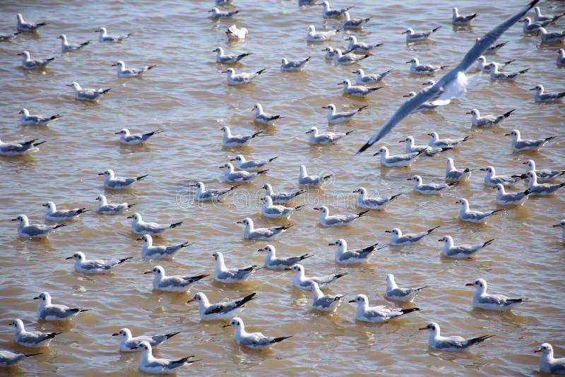 Seagulls w Tajlandia zdjęcia royalty free