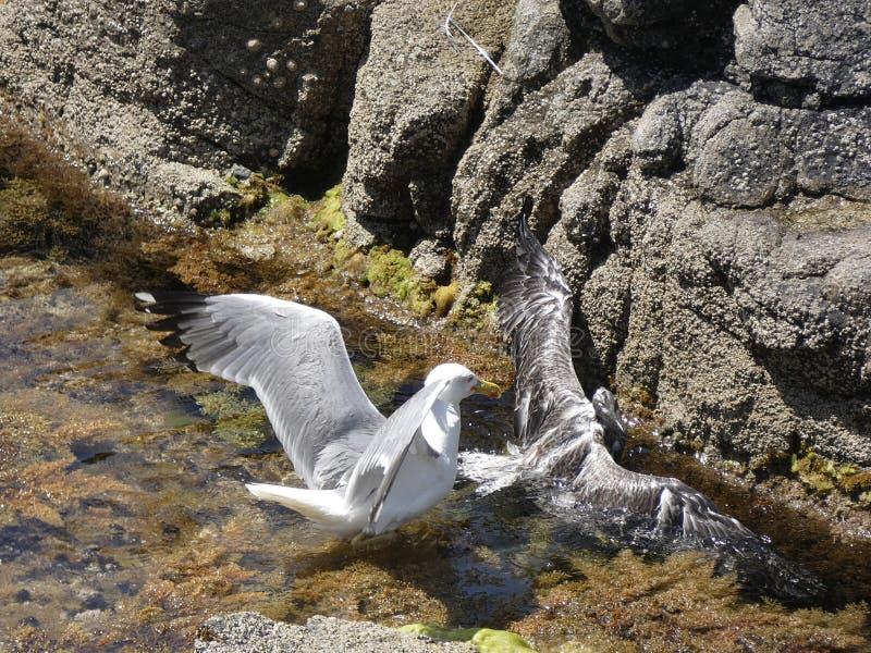 Seagulls walczy zażarcie śmierć zdjęcie royalty free