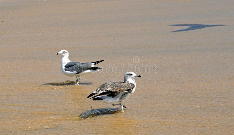 Seagulls in the waves of the surf on the beach sand in streams of water. Ocean. Isle. Sunny bright light. royalty free stock photography