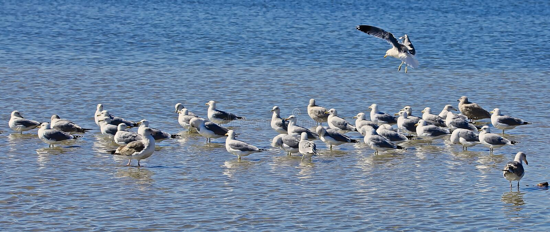 Seagullsgrupphav Kalifornien royaltyfri fotografi