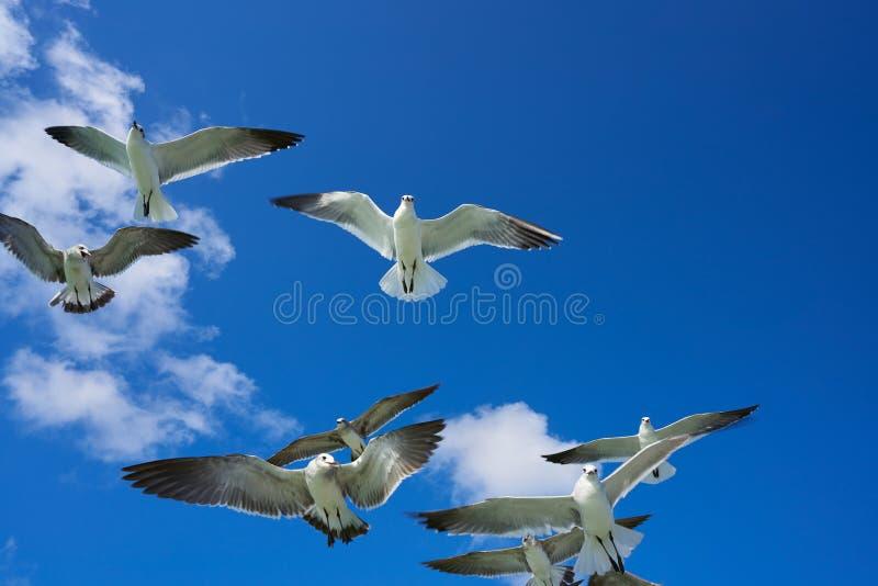 Seagullshavsfiskmåsar som flyger på blå himmel fotografering för bildbyråer