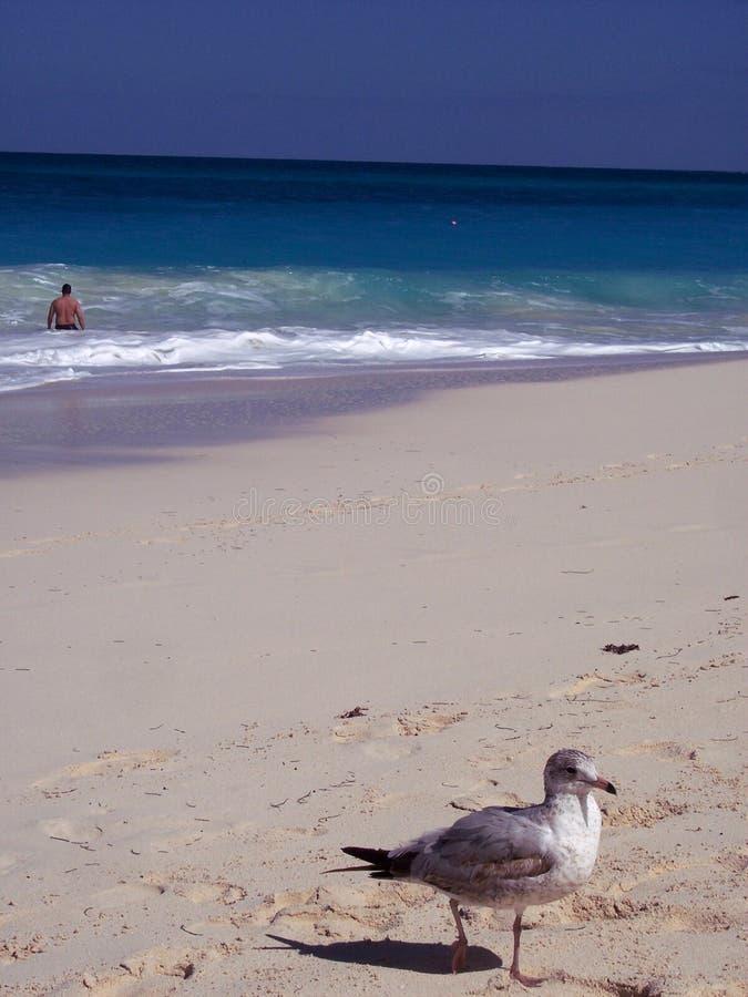 Seagullsimmare Arkivfoto