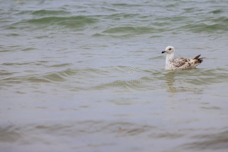 Seagullsimning i havet royaltyfri bild