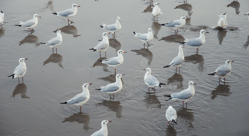 Seagullsmodell arkivfoto