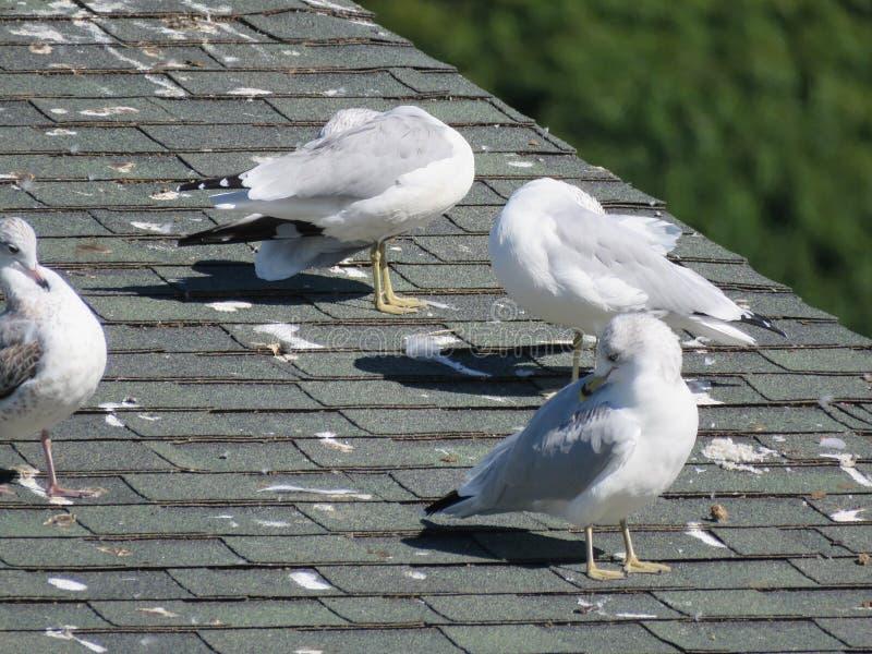 Seagullssol själva på ett tak royaltyfria bilder