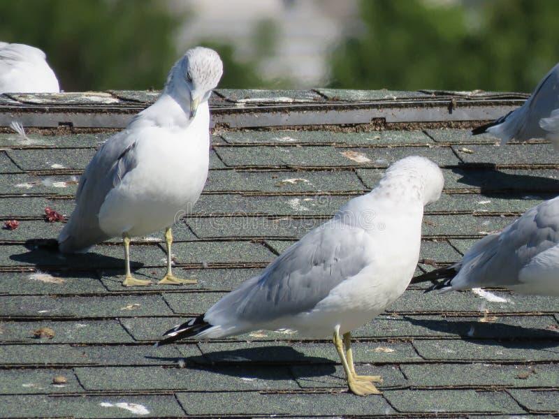 Seagullssol själva på ett tak royaltyfri bild