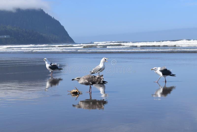 Seagullstrid om död krabba arkivbild