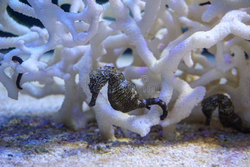 Seahorse, κολύμβηση ιππόκαμπων στοκ φωτογραφία με δικαίωμα ελεύθερης χρήσης