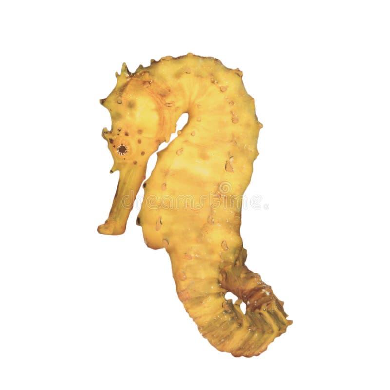 Seahorse που απομονώνεται στοκ φωτογραφία με δικαίωμα ελεύθερης χρήσης