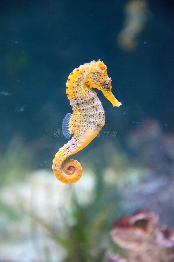 seahorse royaltyfria foton