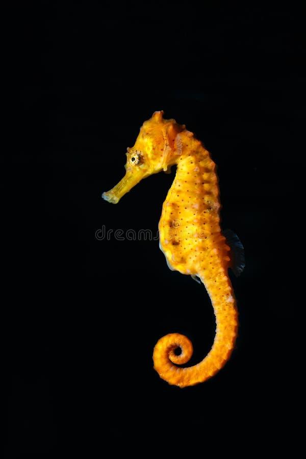 seahorse zdjęcia royalty free