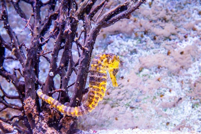 seahorse fotografering för bildbyråer