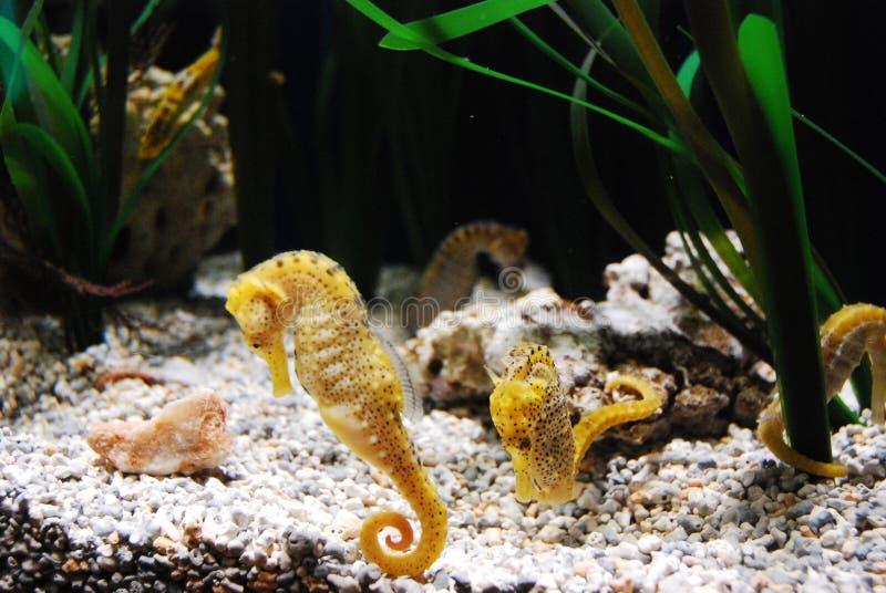 seahorse obrazy royalty free