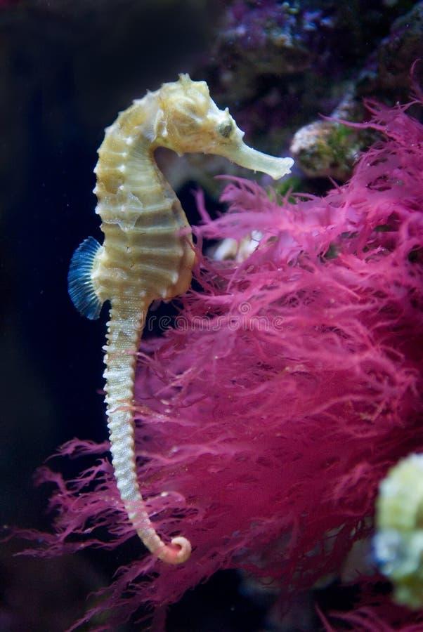 Seahorse alinhado fotos de stock royalty free