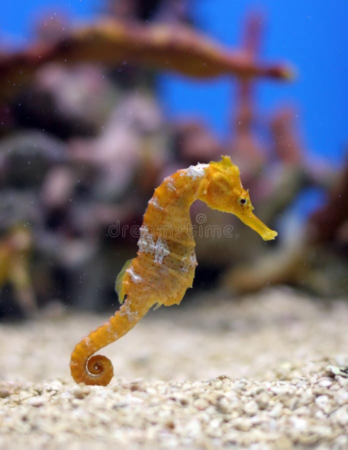 Seahorse arancione immagini stock libere da diritti