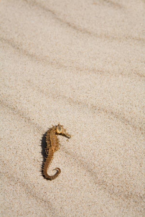 Seahorse auf dem Strand stockfotos