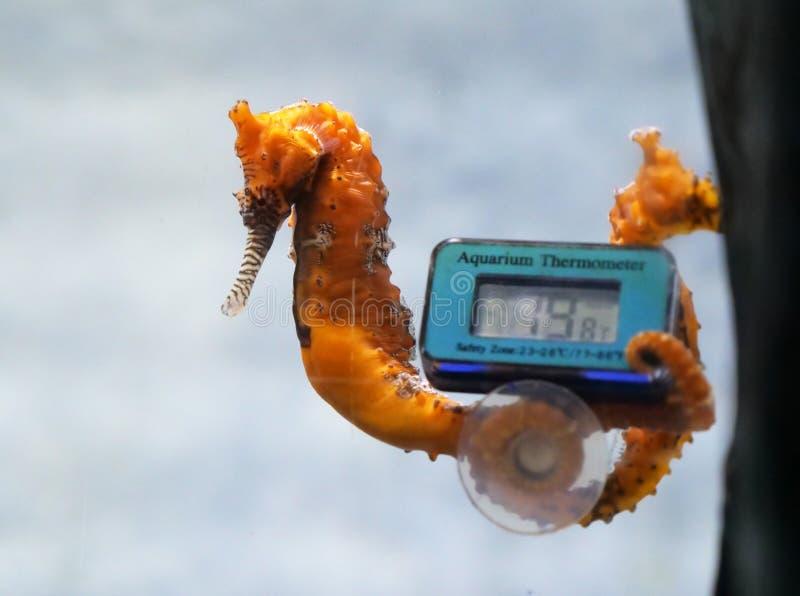 Seahorse en acuario con el termómetro foto de archivo