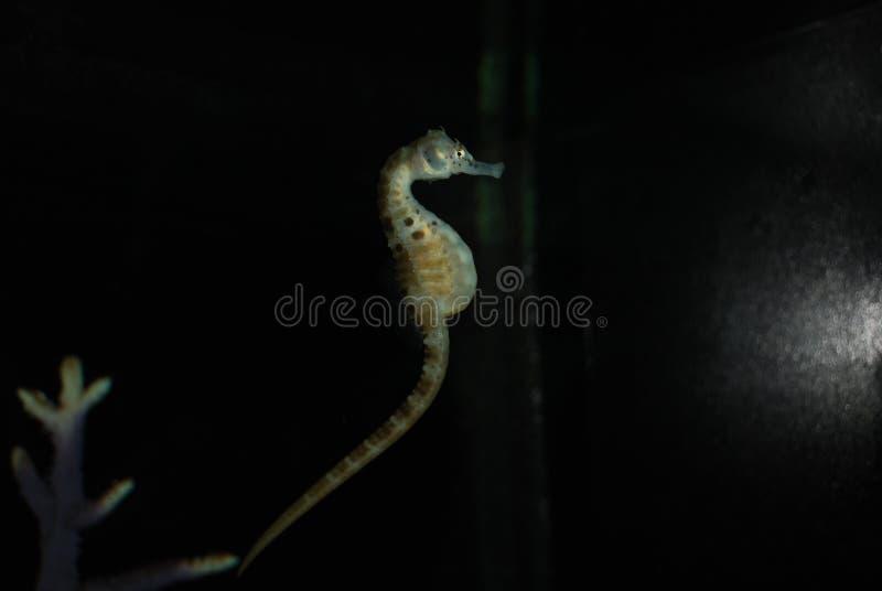 Seahorse in het aquariumleven in volledige duisternis royalty-vrije stock afbeeldingen