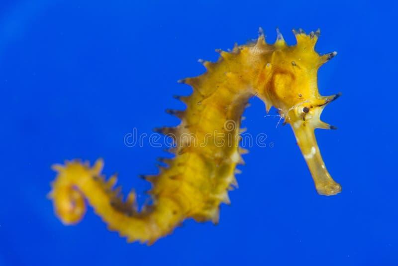 Seahorse i blåtten arkivfoto
