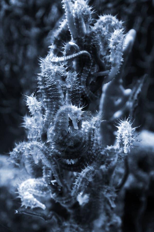 Seahorse kolonia na koralu, zbliżenie fotografia fotografia stock