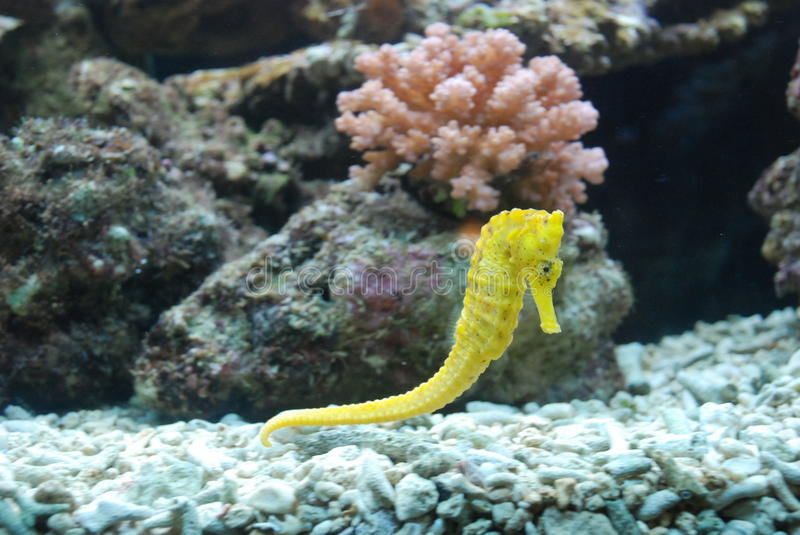 Seahorse royalty free stock photography