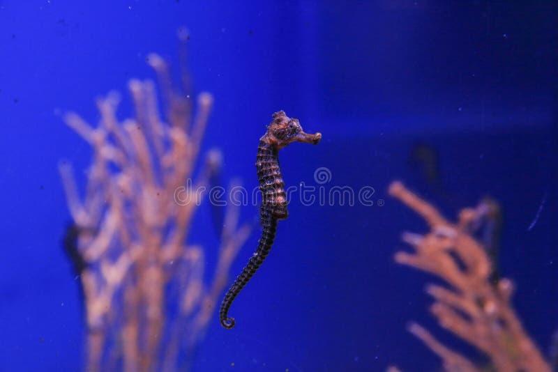 Seahorse op de koraalachtergrond royalty-vrije stock foto