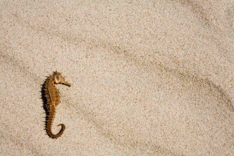 Seahorse op het strand royalty-vrije stock foto's