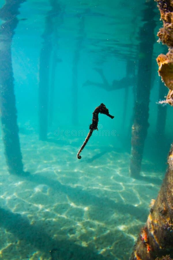A seahorse under a wharf in Honduras stock photography
