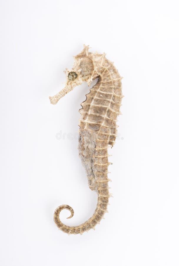 Seahorse voor witte geïsoleerde achtergrond royalty-vrije stock foto