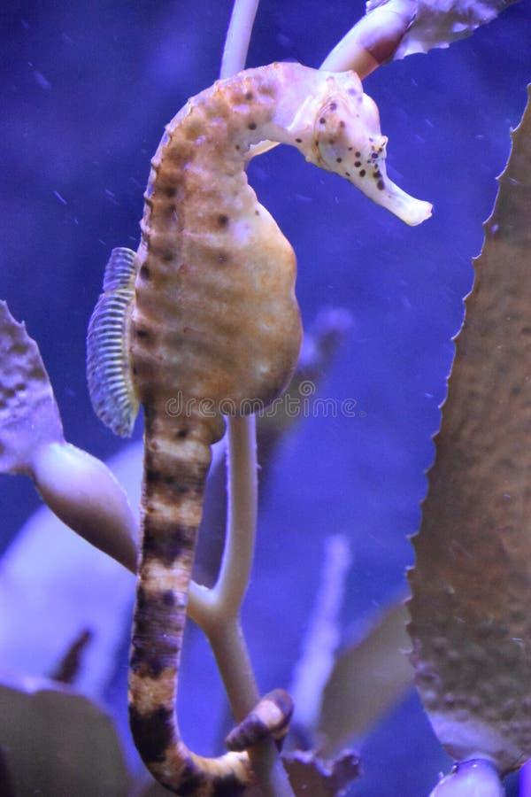 Seahorse in Water stock afbeelding