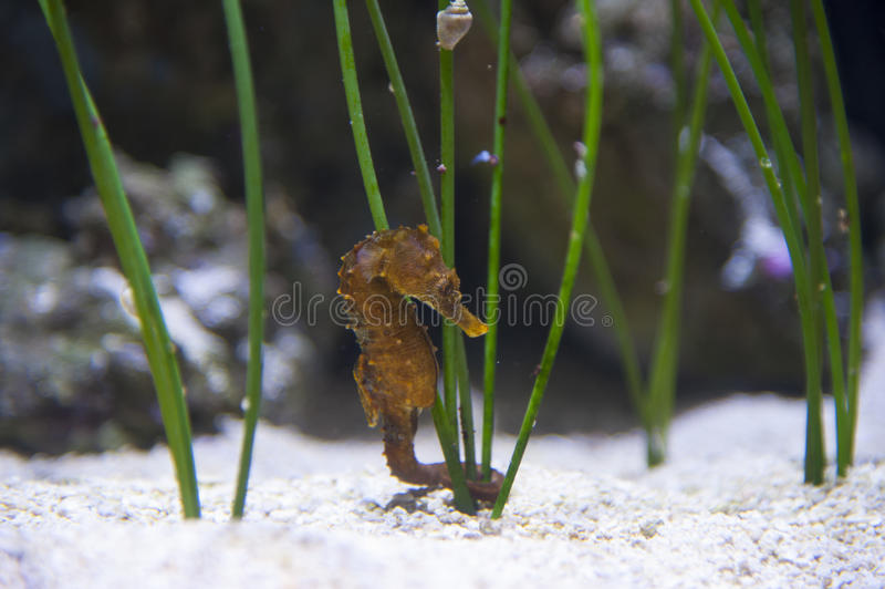 Seahorse on white sand stock images