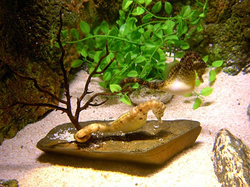 seahorses στοκ φωτογραφία με δικαίωμα ελεύθερης χρήσης