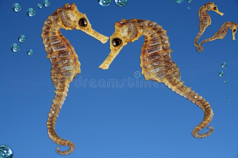 Seahorses lizenzfreie stockfotos