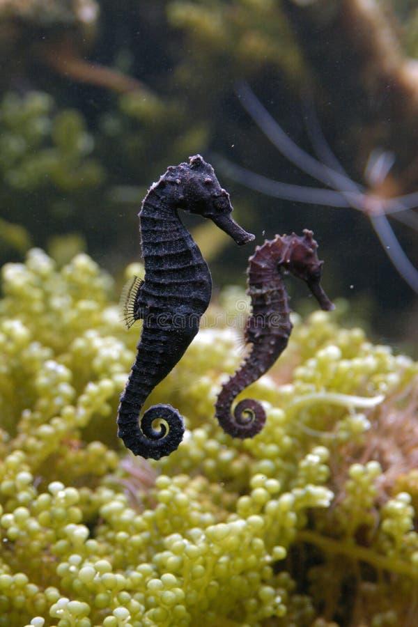 seahorses fotos de stock