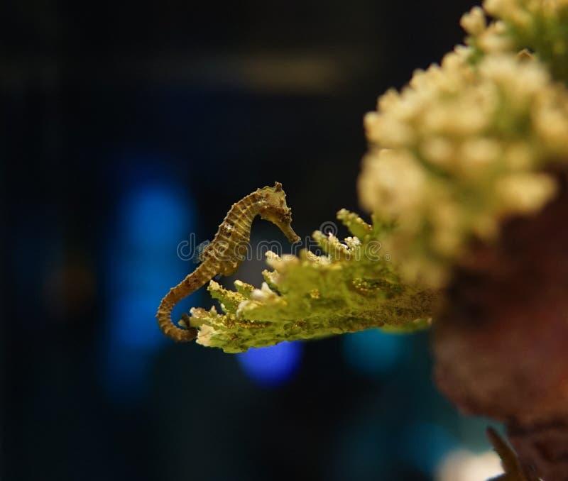 Seahorses die onderzoekt het koraalrif zwemmen stock afbeelding