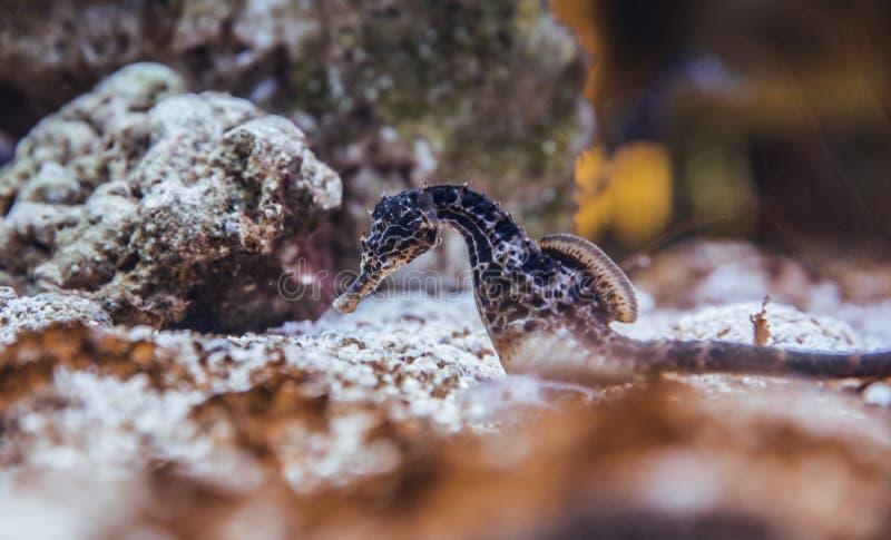 Seahorses en el acuario imagen de archivo libre de regalías