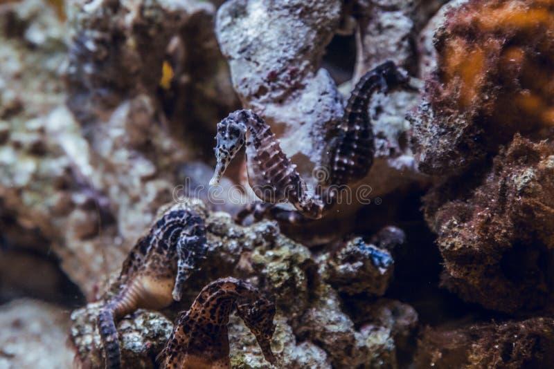 Seahorses en el acuario foto de archivo libre de regalías