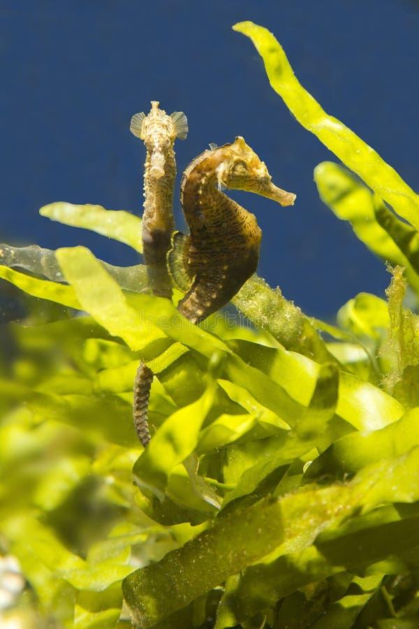 Seahorses en un fondo de algas imagen de archivo