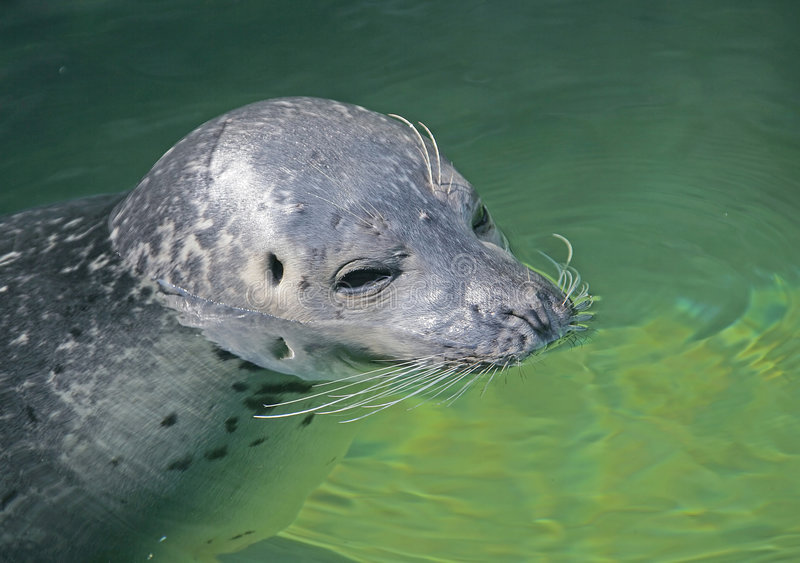 Download Seal 1 stock image. Image of portrait, nature, siesta - 2403261