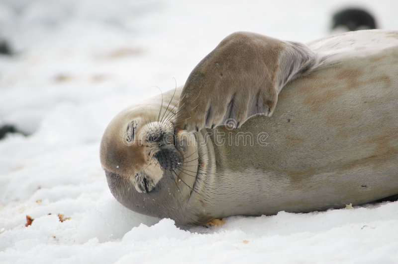 Download Seal stock image. Image of arctic, wildlife, antarctica - 1111123