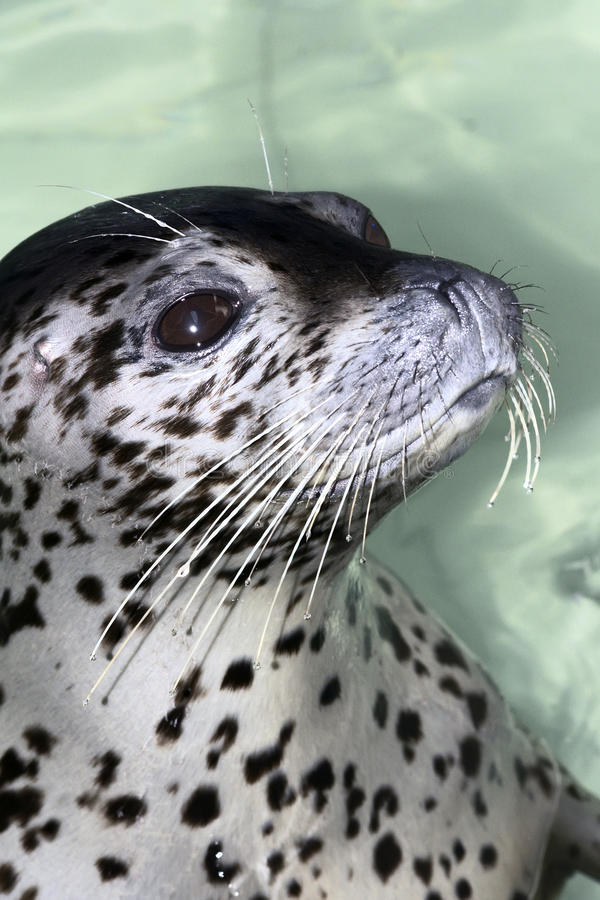 Seal. The head close-up of a antarctic seal royalty free stock photography