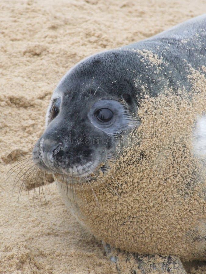 Download Seal stock image. Image of england, baby, animal, seal - 25286239