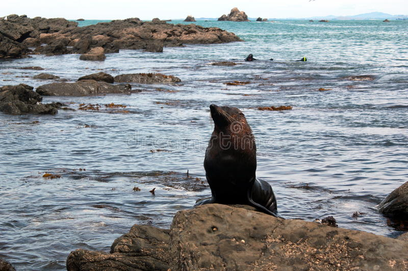 Download Seal stock photo. Image of alone, wildlife, animal, stand - 28755616