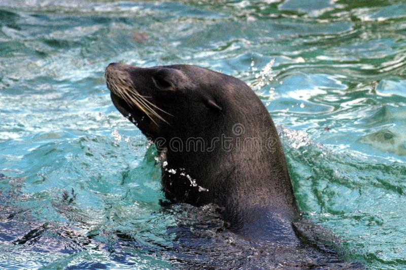 Seal 3 Free Stock Images