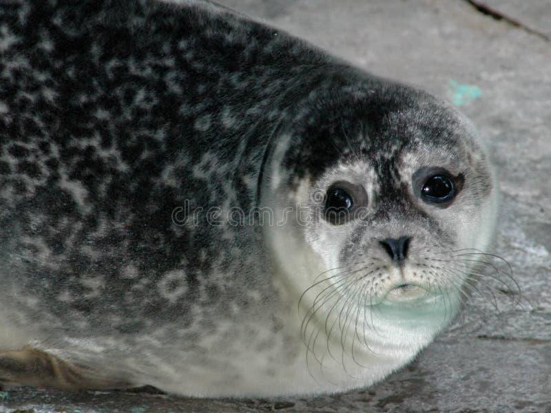 Download Seal stock photo. Image of water, phocidae, carnivora, mammals - 571724