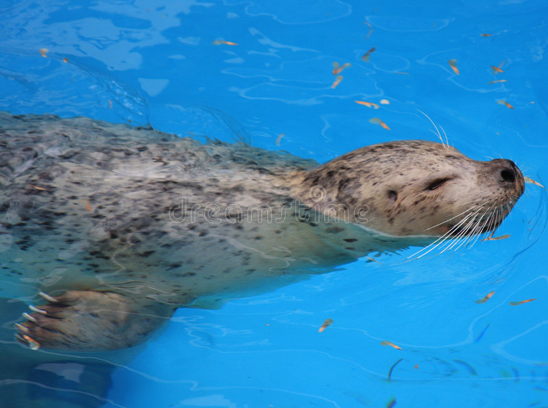 Download Seal stock image. Image of cute, pinniped, nose, creature - 8164649