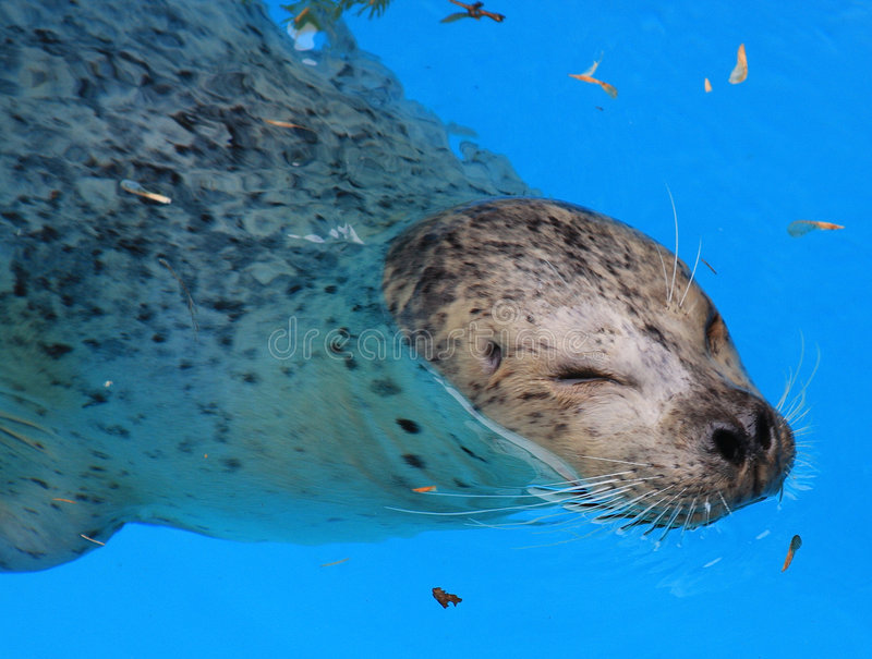 Seal. A harbor seal emerges from swimming underwater to take a breath of air stock photography