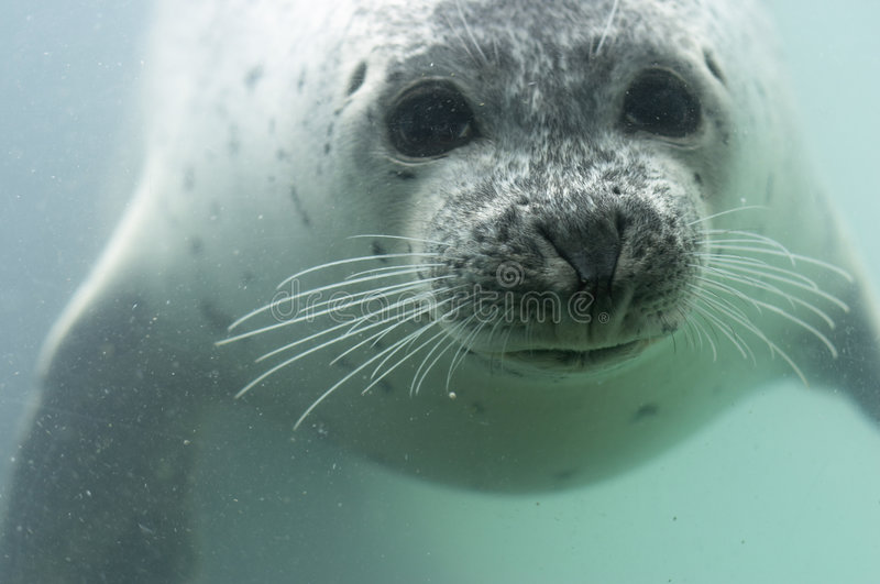 SEAL. A swimming seal under water