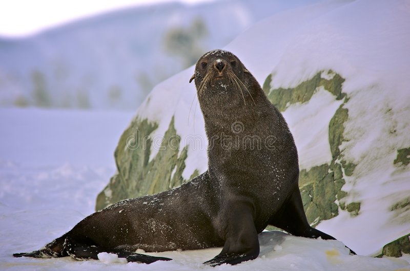 Download Seal stock image. Image of antarctic, whiskers, seal, cold - 8439387