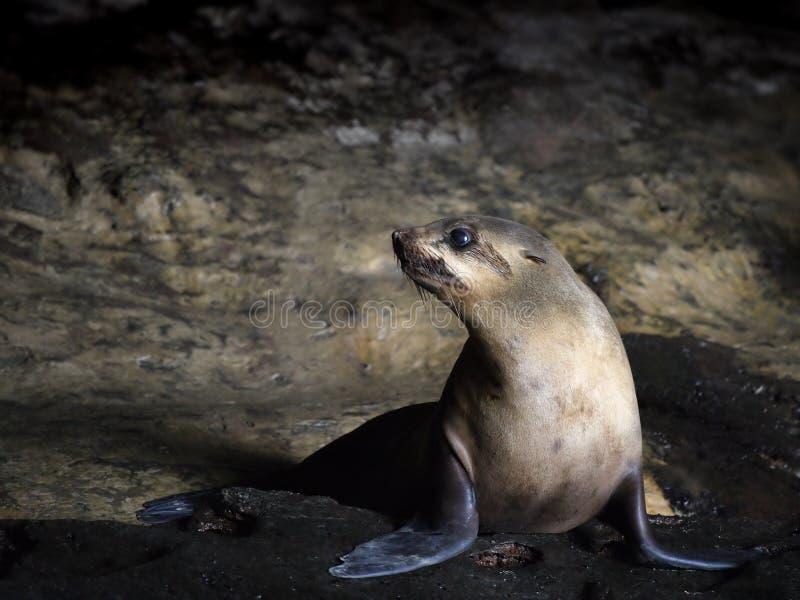 Seal in Australia stock images